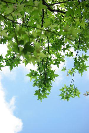 Follaje de arce contra el cielo, otoño  Foto de archivo - 5911804