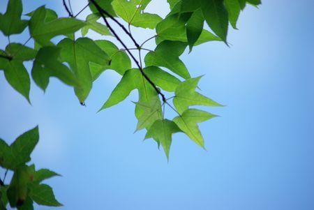 Maple foliage against sky, autumn  photo