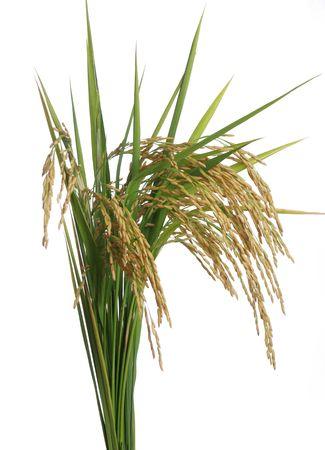 白い背景の上成長する米