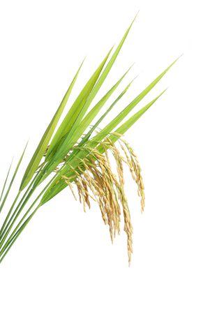 arroz: Cultivo de arroz en fondo blanco  Foto de archivo