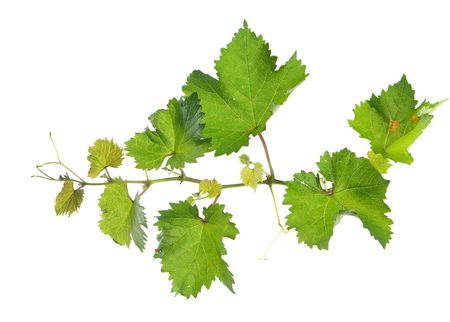 Branch of grape vine on white background Stock Photo