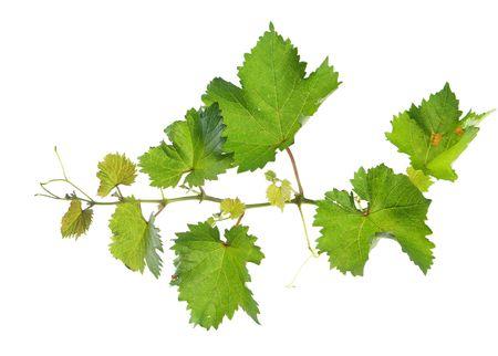 Branch of grape vine on white background Stock Photo