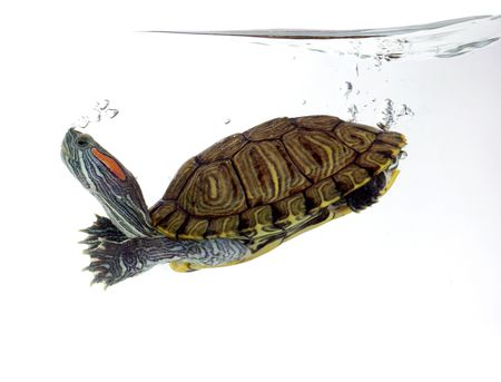 Turtle swimming in front of a white background Stock Photo - 5955426