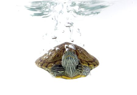 weightlessness: Turtle swimming in front of a white background