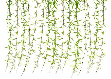sauces: Willow deja en un fondo blanco