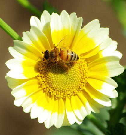 Lavorando ape fiori gialli in un giorno di primavera  Archivio Fotografico
