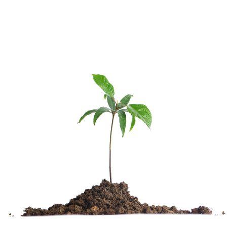 Baby Olive seedlings in soil