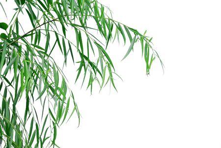 白い背景に柳を葉します。