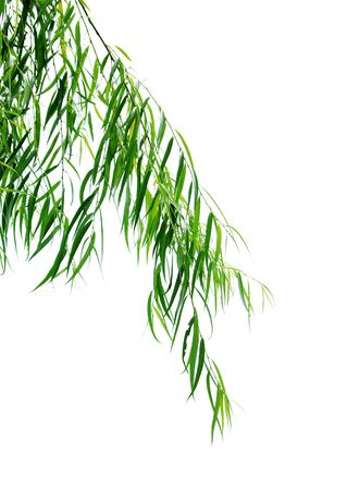 Willow leaves in a white background Stock Photo