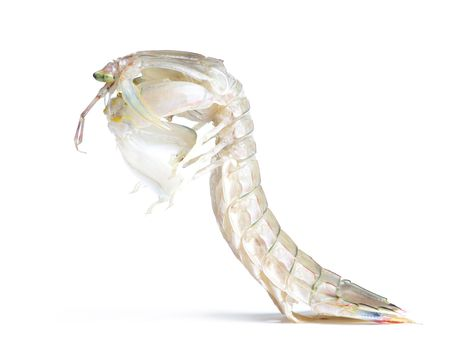 Squilla mantis, isolata su sfondo bianco