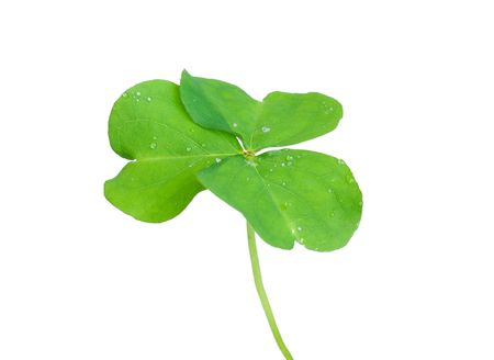 Close up of clover plant on white background Stock Photo - 6659583