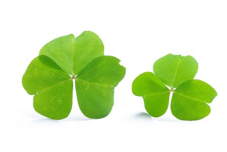 Close up of clover plant on white background  Stock Photo - 6659582