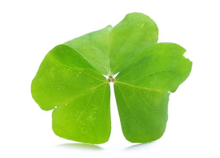 Close up of clover plant on white background  Stock Photo - 6659630