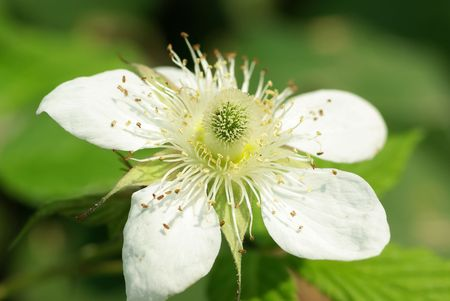Flower of wild strawberry ��In the green background photo