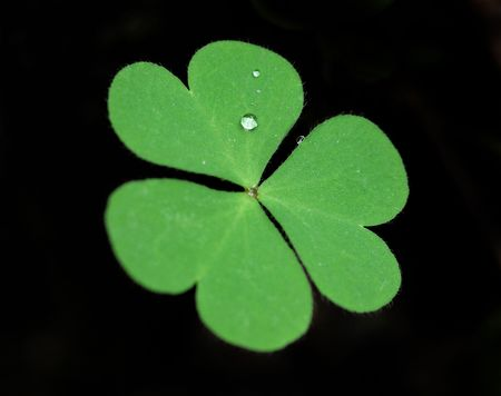 Close up of clover plant on black background  Stock Photo - 6659871