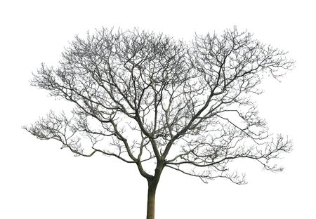 白い背景で隔離の葉のない木 写真素材