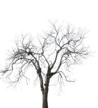 gnarled: �rbol sin hojas aislado en fondo blanco