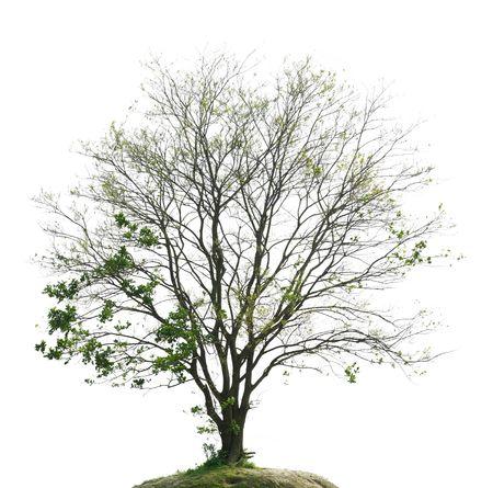 Primavera, gli alberi di germogli, isolata su sfondo bianco