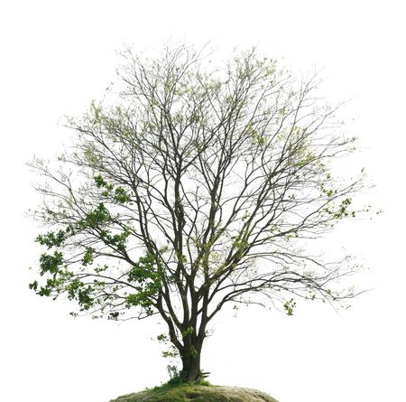 Spring, the trees sprout ,Isolated on white background