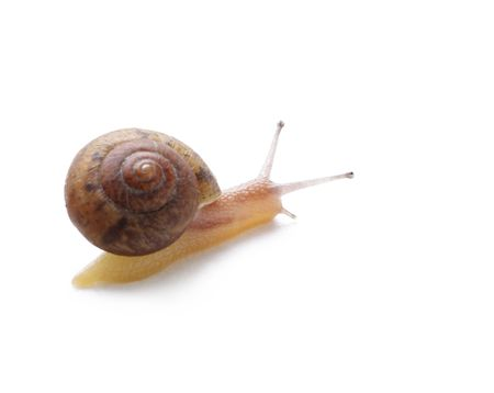 slithery: Snail isolated on white background  Stock Photo