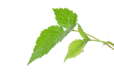 The green leaf of wild strawberry on a white background it is isolated  photo