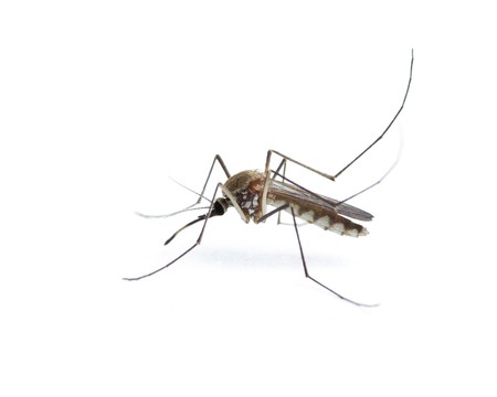 Insect Mosquito Isolated on a white background photo