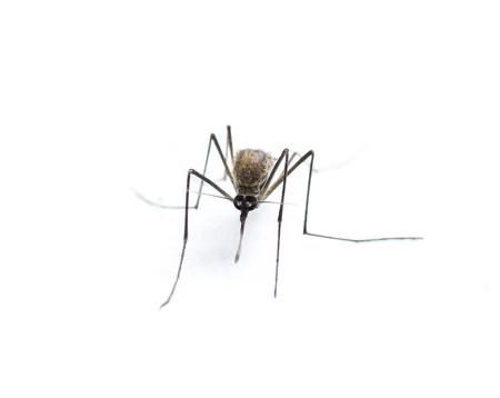 白い背景に分離された昆虫蚊