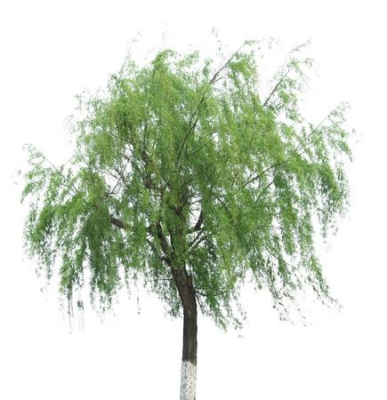 柳の木から分離された白い背景の上