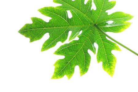 papaya tree: Papaya leaves