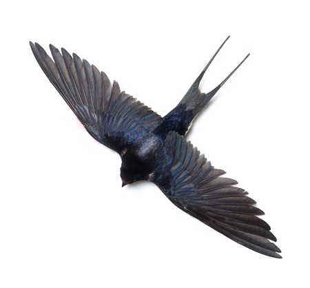 insectivorous: Swallow