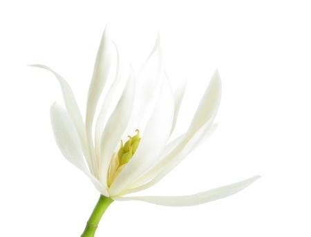 White michelia alba isolated on white background  photo