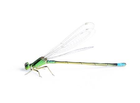 damselfly: damsel-fly