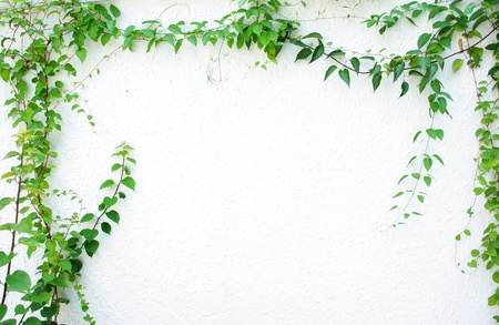 feuillage: Lierre vert isol� sur fond blanc