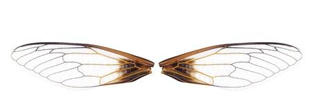cigarra: cerca de un par de alas de cigarra en el fondo blanco