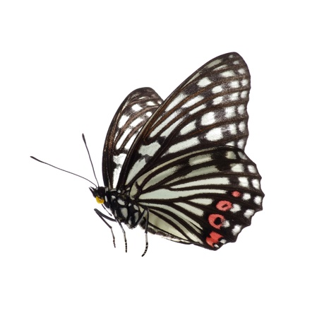 Isolated Butterfly  Stock Photo