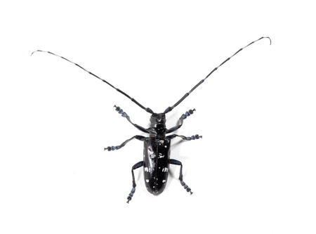 Black beetle  photo