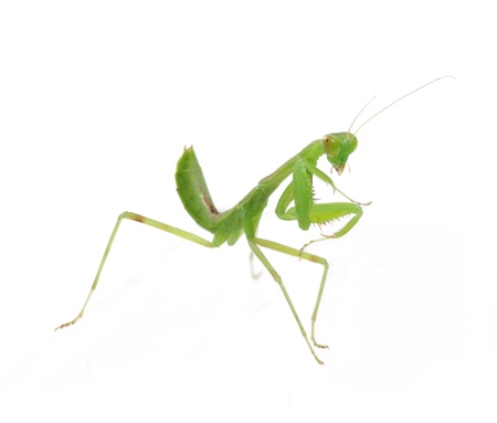 mantid: Praying Mantis