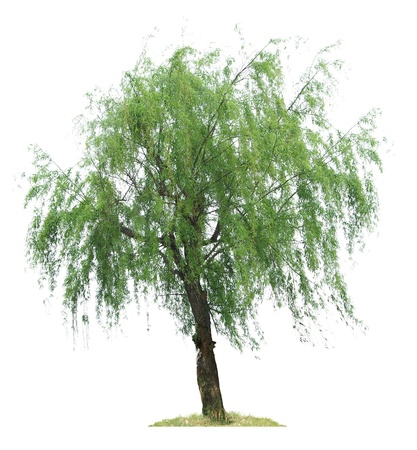 willows: willow tree Isolated on white background Stock Photo