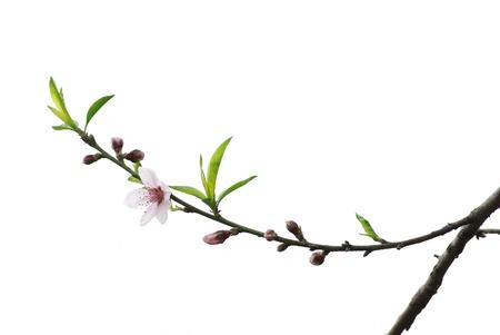 flor de durazno: Flor de primavera melocotón aislado en blanco Foto de archivo