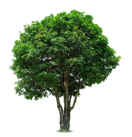 single tree: Mango Tree Stock Photo