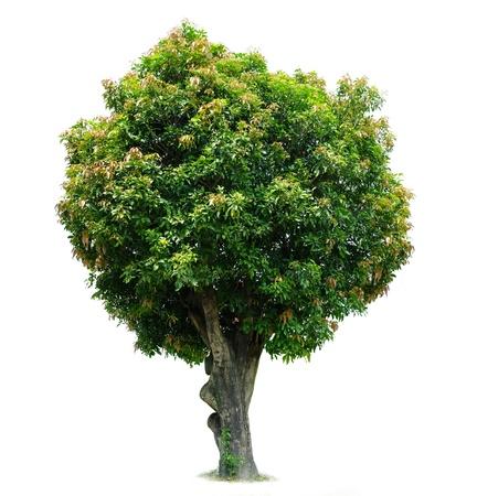 Mango Tree Stock Photo