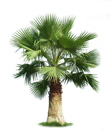on palm tree: Green fan palm tree isolated on white background