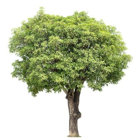 mango: Mango Tree Zdjęcie Seryjne