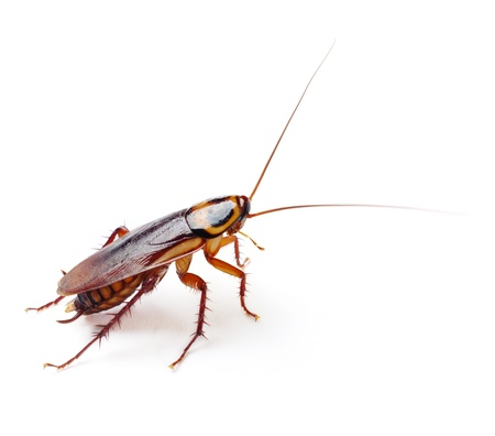 cockroach: Cockroach  Stock Photo