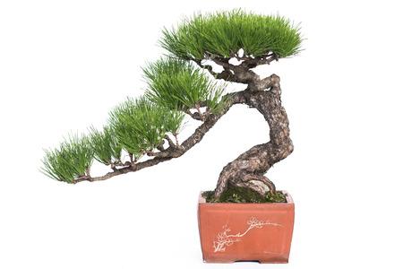 セラミック ポット白で隔離内の松の緑の盆栽 写真素材