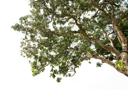 litchi: litchi tree isolated on white Stock Photo