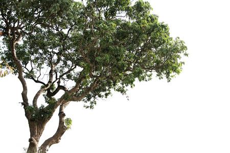 soledad: árbol de litchi aislados en blanco