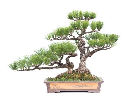 albero bonsai verde di pino in un vaso di ceramica isolato su bianco