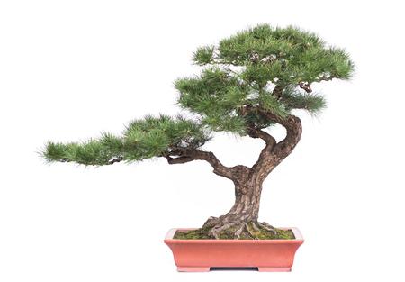 groene bonsaiboom van dennen in een keramische pot op wit wordt geïsoleerd