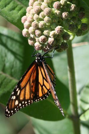 milkweed butterfly: A monarch butterfly on a milkweed plant